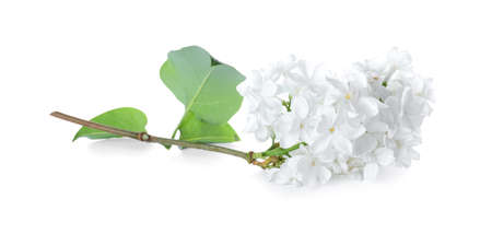 Beautiful blossoming lilac branch with leaves isolated on white 스톡 콘텐츠