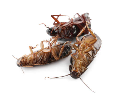 Dead brown cockroaches isolated on white, closeup. Pest control