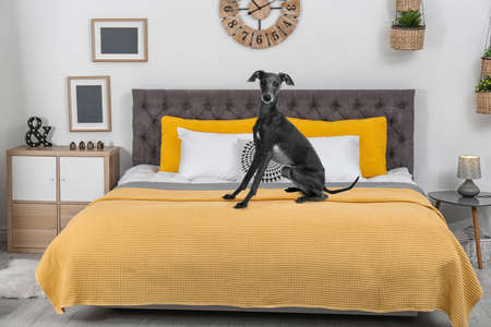 Cute Italian Greyhound dog on bed in room . Pet friendly hotel