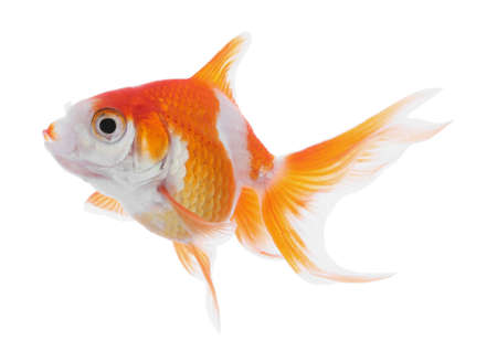 Beautiful bright small goldfish isolated on white Banque d'images