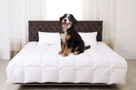 Cute dog on bed in room. Pet friendly hotel Archivio Fotografico