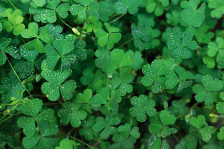 Beautiful clover leaves with water drops outdoors, top view. St. Patrick's Day symbol