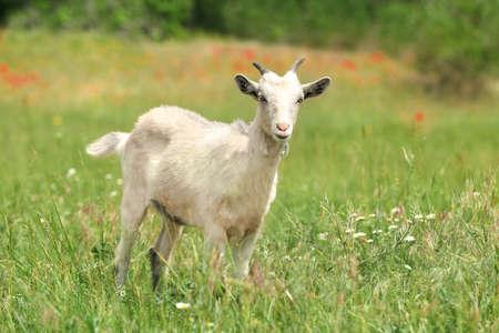 Cute goat in green field. Animal husbandry Foto de archivo