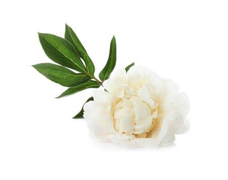 Beautiful fragrant peony flower isolated on white Reklamní fotografie