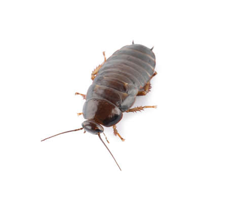 Brown cockroach isolated on white. Pest control Stock fotó