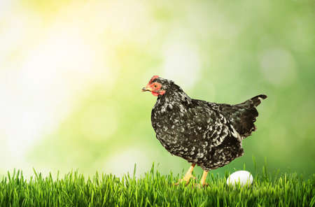 Beautiful chicken and egg on green grass Imagens