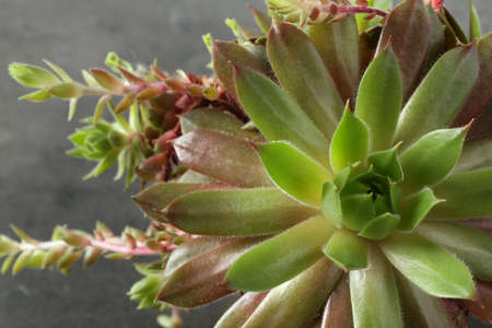Beautiful echeveria on grey background, top view. Succulent plant