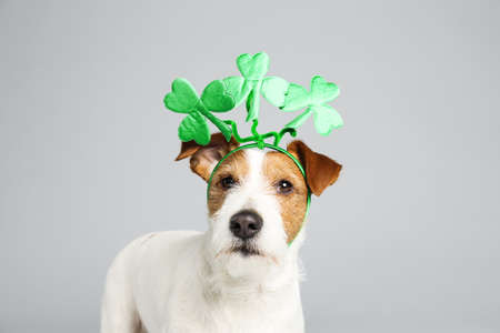 Jack Russell terrier with clover leaves headband on light grey background. St. Patrick's Day