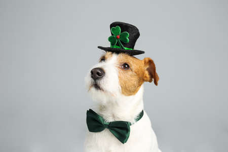 Jack Russell terrier with leprechaun hat and bow tie on light grey background. St. Patrick's Day Reklamní fotografie