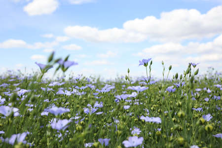Beautiful view of blooming flax field on summer day Foto de archivo