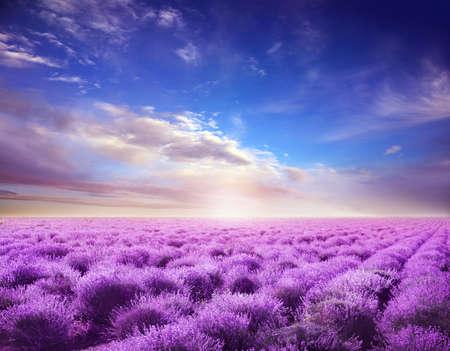 Beautiful view of blooming lavender field under blue sky