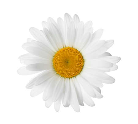 Beautiful fragrant chamomile flower isolated on white Banque d'images