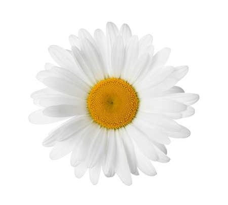 Beautiful fragrant chamomile flower isolated on white Stock Photo