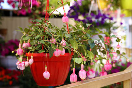 Beautiful pink flowers in plant pot hanging outdoors Stock Photo