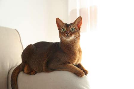 Beautiful Abyssinian cat on sofa at home. Lovely pet Reklamní fotografie