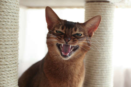 Angry Abyssinian cat on pet tree at home, closeup. Troublesome pet Reklamní fotografie