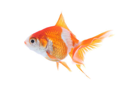 Beautiful bright small goldfish isolated on white