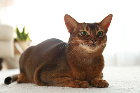 Beautiful Abyssinian cat on floor at home. Lovely pet