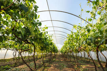 Rows of cultivated grape plants in greenhouse