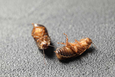 Dead brown cockroaches on gray stone background, closeup. Pest control
