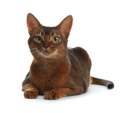 Beautiful Abyssinian cat on white background. Lovely pet