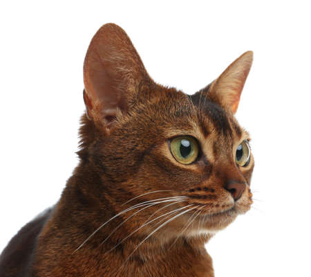 Beautiful Abyssinian cat on white background, closeup. Lovely pet