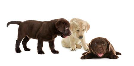 Set of adorable Labrador Retriever puppies on white background