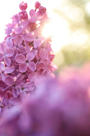 Closeup view of beautiful blooming lilac shrub outdoors