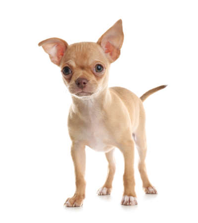 Cute Chihuahua puppy on white background. Baby animal Stock Photo