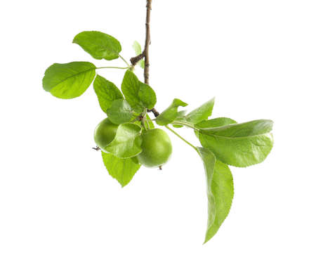 Tree branch with green apples isolated on white Archivio Fotografico