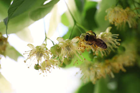Bee on branch of linden tree with fresh young green leaves and blossom outdoors, closeup. Spring season