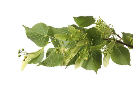 Linden tree branch with fresh young green leaves and blossom isolated on white Stockfoto