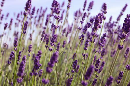 Beautiful lavender flowers growing in field, closeup Stock fotó