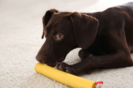 Cute German Shorthaired Pointer dog playing with toy at home