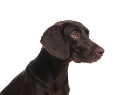 German Shorthaired Pointer dog on white background Stockfoto