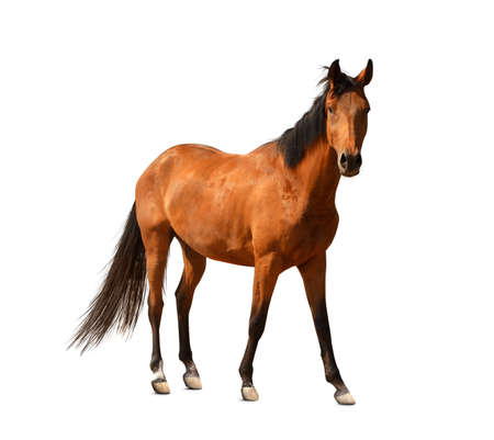 Bay horse standing on white background. Beautiful pet Imagens