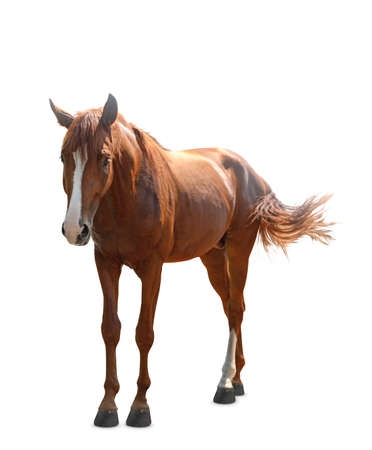 Chestnut horse walking on white background. Beautiful pet
