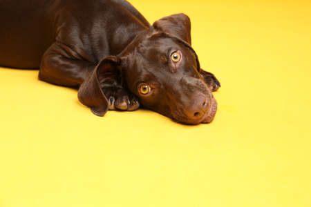 German Shorthaired Pointer dog on yellow background Stockfoto