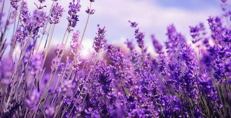 Beautiful lavender field, closeup. Banner design Foto de archivo