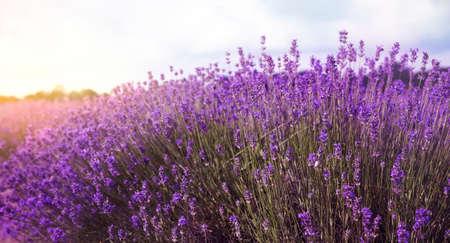 Beautiful sunlit lavender field, banner design