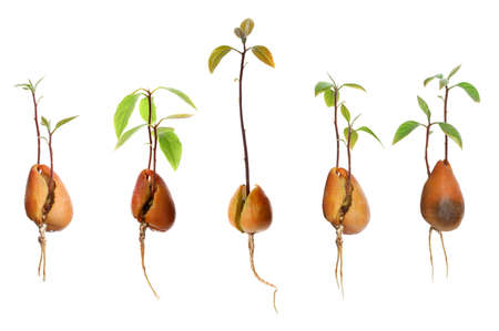 Set of avocado pits with sprouts on white background