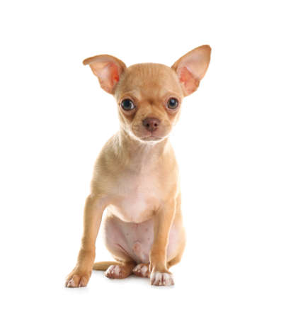 Cute Chihuahua puppy with toy on white background. Baby animal