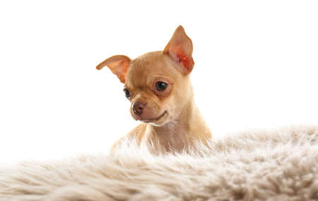 Cute Chihuahua puppy on faux fur. Baby animal 스톡 콘텐츠