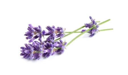 Beautiful blooming lavender flowers on white background Standard-Bild