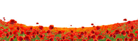 Beautiful red poppy flowers growing in field on white background. Banner design
