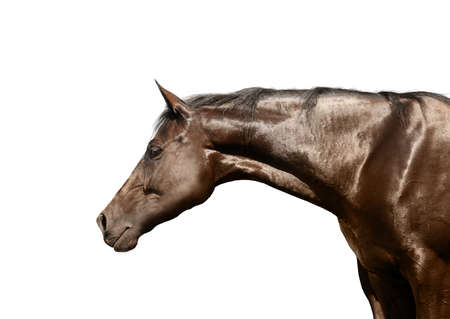 Closeup view of bay horse isolated on white. Beautiful pet