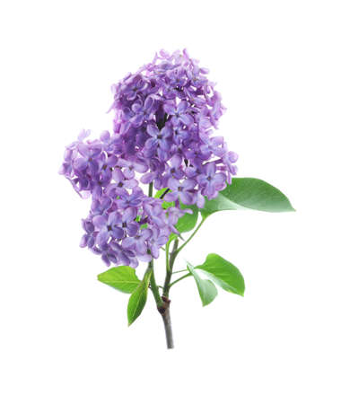 Beautiful blossoming lilac branch with leaves isolated on white