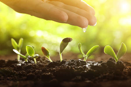 Woman pouring water on young vegetable plants grown from seeds in soil, closeup Foto de archivo