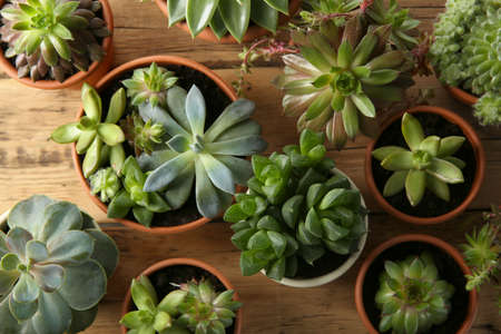 Many different echeverias on wooden table, flat lay. Beautiful succulent plants Stock fotó