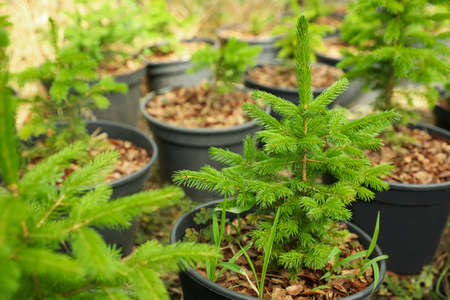 Fir trees in pots, closeup. Gardening and planting